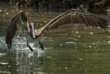 Brown Pelican, Split Rock  3