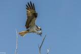 Osprey, Split Rock  4