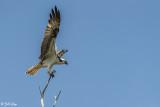 Osprey, Split Rock  5