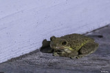 Reptiles and Amphibians of the Florida Keys