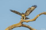 Cooper's Hawk  7