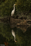 Great Egrets  80