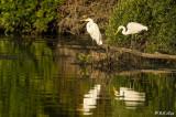 Great Egrets  83