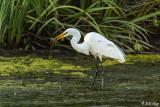 Great Egrets  85