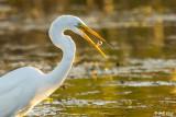 Great Egrets  89