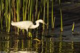 Snowy Egrets  66