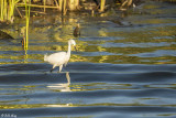 Snowy Egrets  68