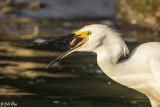 Snowy Egrets  70