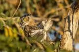 Great Horned Owl  16