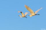 Great Egrets  93