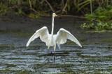 Great Egrets  97