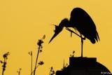 Great Blue Heron Sunset  12