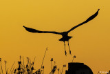 Great Blue Heron Sunset  15