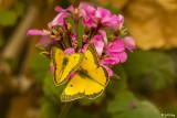Alfalfa Caterpillar Butterfly  1
