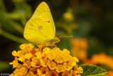 Alfalfa Caterpillar Butterfly  2