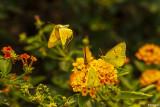 Alfalfa Caterpillar Butterfly  3