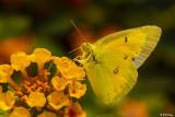 Alfalfa Caterpillar Butterfly  4