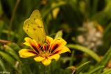 Alfalfa Caterpillar Butterfly  8