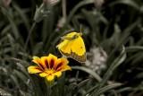 Alfalfa Caterpillar Butterfly  9