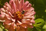 Bee on Flower  3