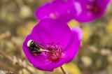 Bee on Calandrinia  2