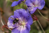 Bee on Geranium  1