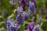 Bee on Lavender  1
