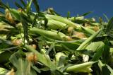 Brentwood Corn Harvest  5
