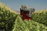 Brentwood Corn Harvest  6