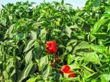 Pepper Farming  3
