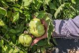 Byron Tomato Harvest  9