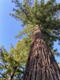 Redwood Trees, Humboldt County  1