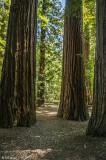 Redwood Trees, Smithe Grove  4