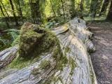 Redwood Trees, Smithe Grove  6