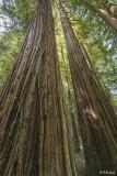 Redwood Trees, Smithe Grove  7