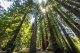 Redwood Trees, Smithe Grove  9