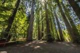 Redwood Trees, Smithe Grove  11