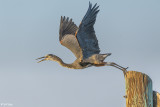Herons of the Delta