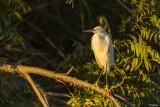 Egrets of the Delta