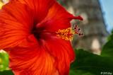 Hibiscus Flower  24