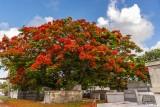 Royal Poinciana, Key West Cemetery  3