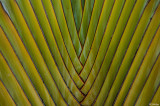 Traveler's Palm  1