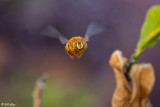 Valley Carpenter Bee  1
