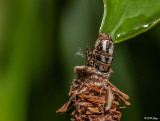 Bag Worm Moth Cocoon  3