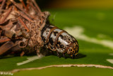Bag Worm Moth Cocoon  5