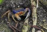 Blue Land Crab, Blue Hole, Big Pine Key  1