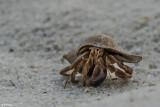 Hermit Crab, Little Palm Island  2