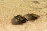 Horseshoe Crabs, Marquesas Keys  4