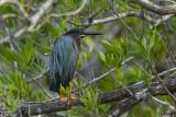 Green Heron, Blue Hole, Big Pine Key  2