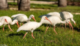 White Ibis  13